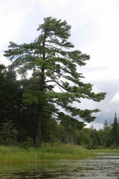 Un majestueux pin blanc, <em>Pinus strobus</em> L., dominant une berge du lac Mégantic au Québec.»/><figcaption>Un majestueux pin blanc, <em>Pinus strobus</em> L., dominant une berge du lac Mégantic au Québec.</figcaption></figure> <h2> La mission</h2> <p style=