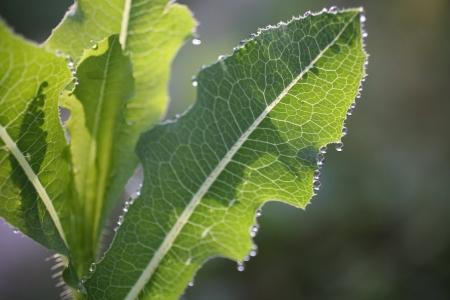 Laitue cultivée - Lactuca sativa L., par Olivier NAWROT