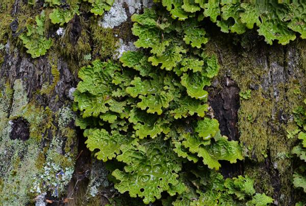 Lobaria pulmonaria - photo de Marc CHOUILLOU (1er prix du concours photos dédié à l'enquête lichens du Massif-Central)
