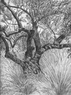 L'olivier. Dessin de John Jefferis