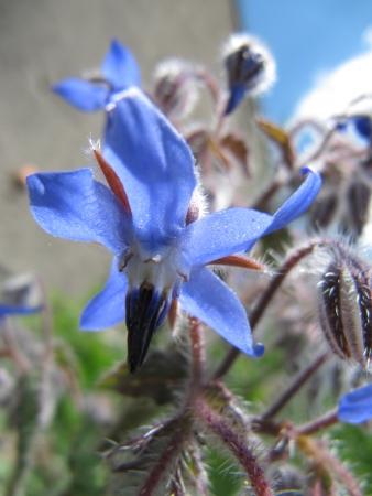 Bourrache officinale - Borago officinalis L., Marie-France CANIONI