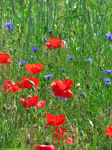 Messicoles sur champs de céréales par Annick Larbouillat CC by SA (Tela Botanica)