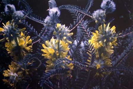 Astragalus alopecuroides par Liliane Roubaudi