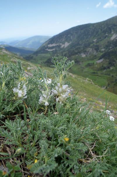 Astragalus sempervirens subsp. catalaunicus sur le Madres. © C. Plassart
