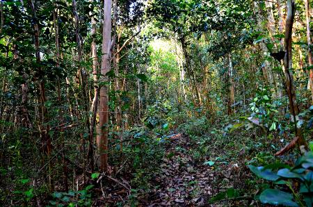 Tabebuia pallida - Coccoloba swartzii - Bursera simaruba Forest Alliance, Ancinel, Martinique ; (c) J. Touroult