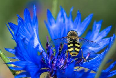 Bleuet par Laurent LEMETAIS- cc by sa Tela Botanica