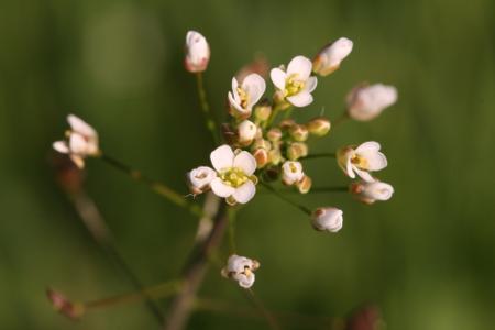 Capsella bursa-pastoris (L.) Medik. par Henk Van Lottum - cc by sa Tela Botanica