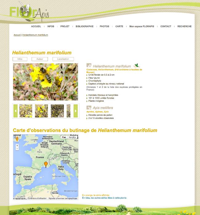 Fiche d'observation d'Hélianthème à feuilles de Marum butinée par l'abeille domestique disponible sur la base www.florapis.org