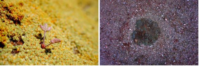 Photos 4 et 5 - Coussin de Frankenia triandra