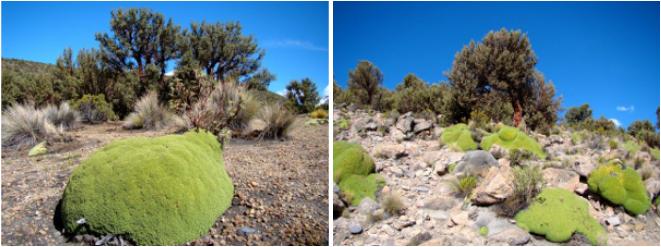 Azorella compacta et Polylepis tarapacana