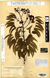 Cassia guaranitica