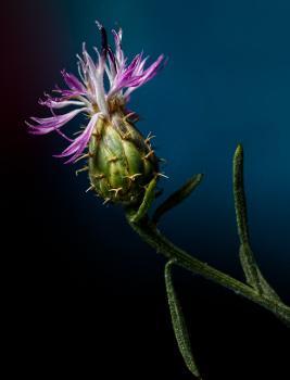 Centaurea aspera par M. Benezech (CC by SA)