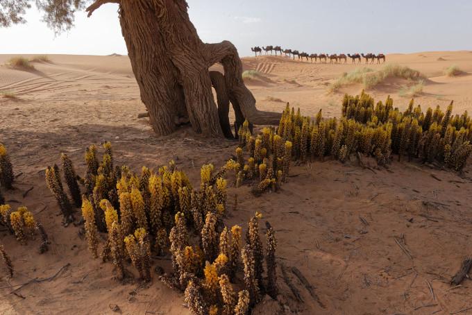 Cistanches à Khemliya (Maroc) - Claude Lemmel