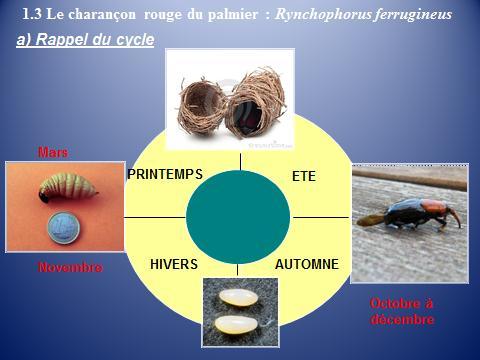 Cycle biologique du charançon rouge