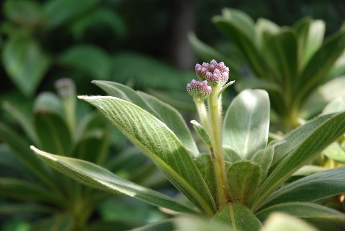 Cylindrocline lorencei