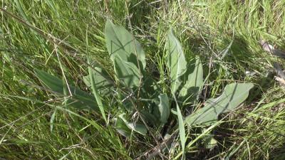 <em>Pardoglossum cheirifolium</em>«/><figcaption><em>Pardoglossum cheirifolium</em></figcaption></figure> <figure>                       <img src=