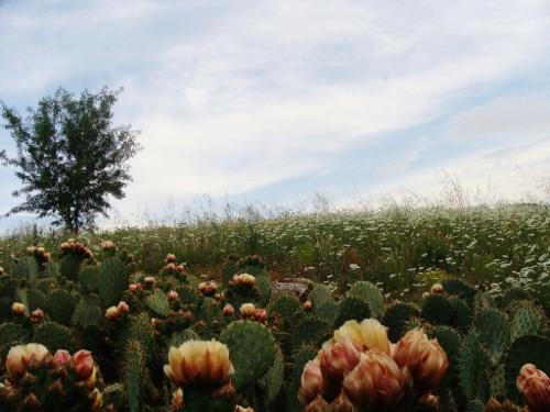 Les Opuntias en fleurs