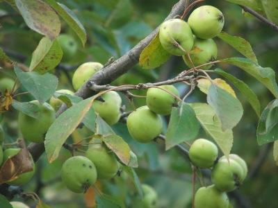 Pommes de pommier sauvage européen