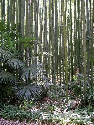 Bambous et palmiers par Michel Pansiot
