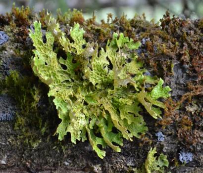 Lichen pulmonaire (Lobaria pulmonaria) : l'une des sept espèces de l'enquête (photo : DREAL Auvergne)
