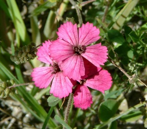 Dianthus carthusianorum infecté par le charbon des anthères (anthères noirs-violets à texture poudreuse).