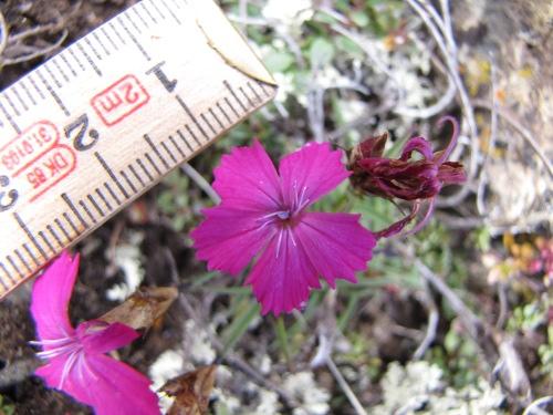 Dianthus carthusianorum sain