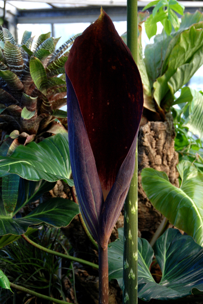 Floraison exceptionnelle au Jardin botanique de Lyon Dracontium_pittieri600