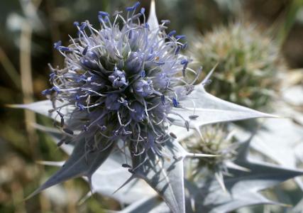 Eryngium maritimum L. par Liliane Roubaudi - cc by sa Tela Botanica