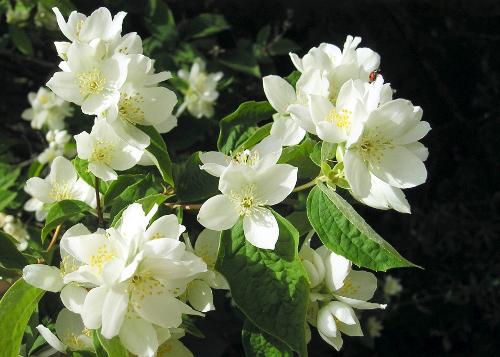 Fleurs de seringat