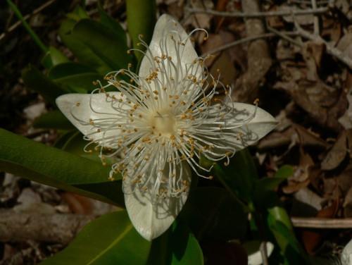 <i>Foetidia comorensis</i> – fleur»/><figcaption><i>Foetidia comorensis</i> – fleur</figcaption></figure> <figure>                       <img src=