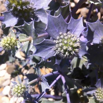 Eryngium maritimum - Gabriela DEMARCHI DIAS- CC by SA Tela Botanica