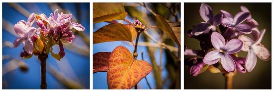 Nouvelles floraisons de lilas en novembre à Braives, en Belgique (Photo : G. Grosjean)