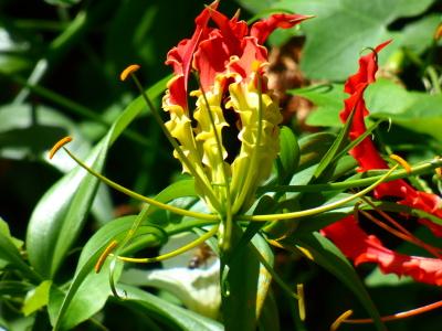 Gloriosa superba par Hugo Santacreu - cc by sa Tela Botanica