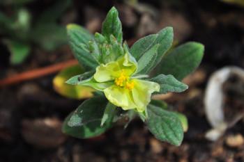 H.ledifolium fleur J.C.Maure