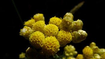 Helichrysum_stoechas_bdtf x_par_Louis-Kenzo_CAHIER