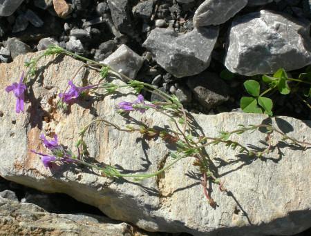 Linaria benearnensis