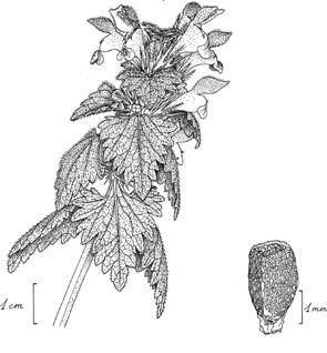 Lamium gevorense, dessin de Philippe Jauzein