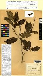 Spécimen type de Thomandersia anachoreta Heine , récolté par Laurent Aké Assi, le 20 février 1955 en Côte d'Ivoire. Conservé à MPU (Herbier de Montpellier)