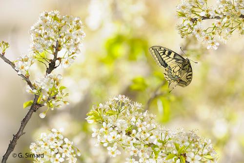Un machaon en vol parmi les fleurs d'aubépine
