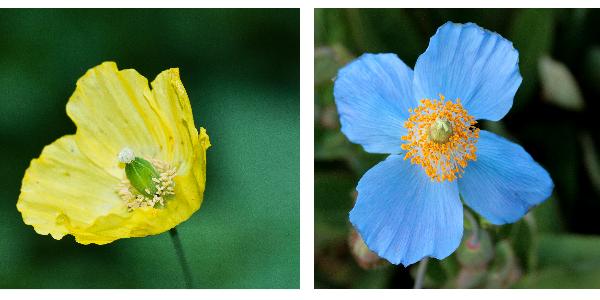 2 espèces de Meconopsis