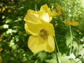 <em>Meconopsis cambrica</em>«/><figcaption><em>Meconopsis cambrica</em></figcaption></figure> <p>Organisée par le référent régional du programme Vigie-Flore en partenariat avec l'association du Jardin Botanique d'Auvergne, cette sortie a permis de mobiliser un petit groupe de 13 botanistes déjà investis dans le programme vigie-flore ou souhaitant le découvrir.</p> <p>Outre la présentation du protocole et les discussions sur la mise en place pratique et le suivi des placettes, cette rencontre a permis d'échanger et de partager à partir des connaissances botaniques de chacun. Les relevés floristiques  furent l'occasion pour les nouveaux vigie-floristes de rencontrer de nombreuses espèces plutôt communes des habitats parcourus (Hêtraie-Sapinière, mégaphorbiaies et prairies humides). </p> <p>Le groupe a pu également «déceler» une espèce assez peu commune de Luzule (Luzule de Desvaux – <em>Luzula desvauxii</em> Kunth) au cours d'un relevé dans une placette située dans une mégaphorbiaie en bordure d'un ruisseau, affluent de la Dordogne.</p> <figure>                       <img src=