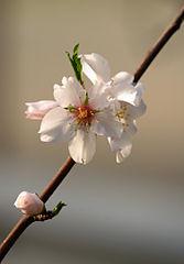 Prunus dulcis de Jörg Hempel