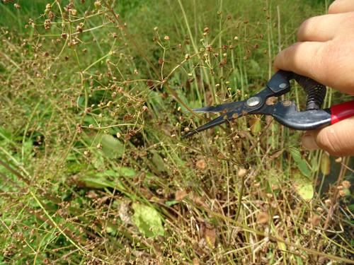 Récolte d'inflorescences matures d'Alisma plantago 2
