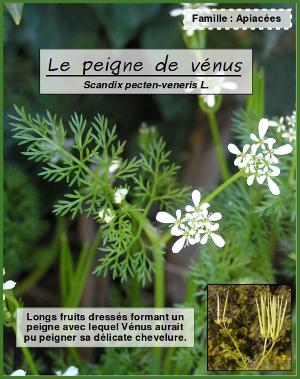 Scandix pecten veneris L. par Andrine Faure - cc by sa et fruits de Scandix pecten-veneris L. par Liliane ROUBAUDI - cc by sa Tela Botanica