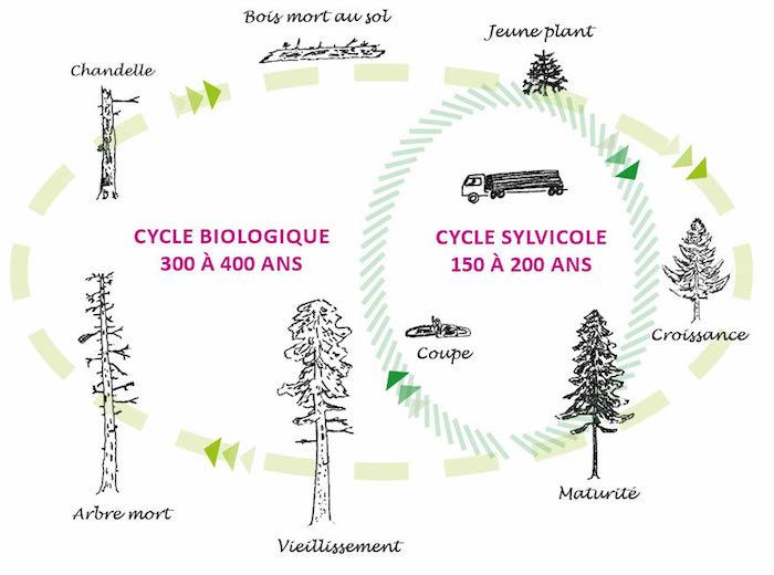 Schéma des cycles forestiers