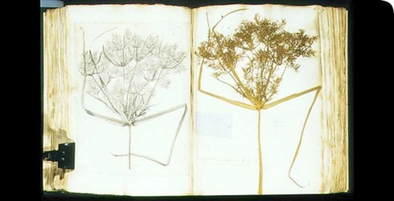 Spécimen de Cyperus de l'herbier de Hans SLOANE