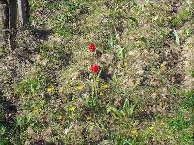 Tulipes (Tulipa sp.) observées par Geneviève ENGEL en avril 2018-  cc by sa Tela botanica