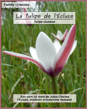 Tulipa clusiana par Mathieu MENAND - cc by sa Tela Botanica