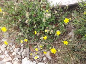 Helianthemum ledifolium - Annik MULLER - Licence CC BY SA - Tela Botanica