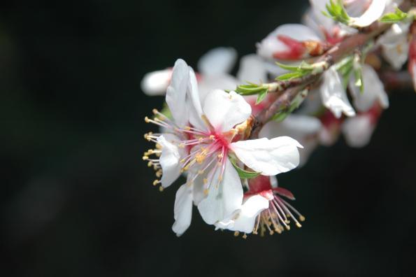 Prunus dulcis par le collectif des chercheurs de l'ODS